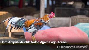 Cara Ampuh Melatih Nafas Ayam Laga Aduan