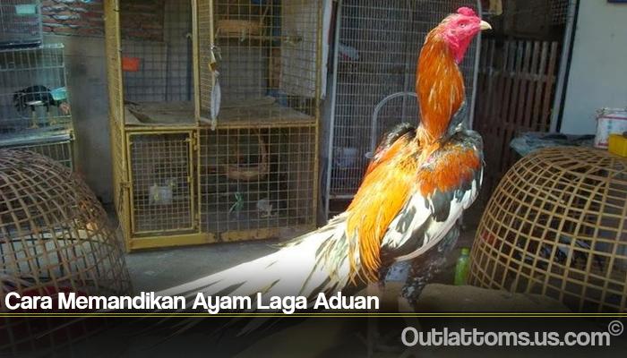 Cara Memandikan Ayam Laga Aduan
